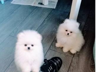 Pomeranian-puppy's