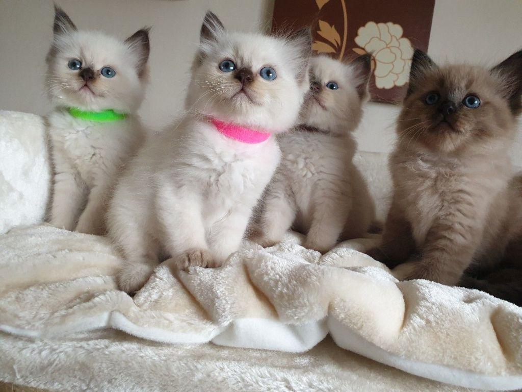 Prachtige Ragdoll kittens